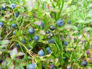 Blåbær. Foto Arne Nohr