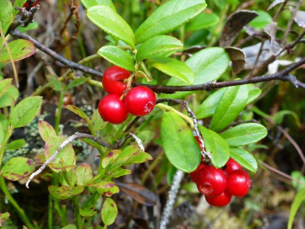 Tyttebær. Foto Arne Nohr