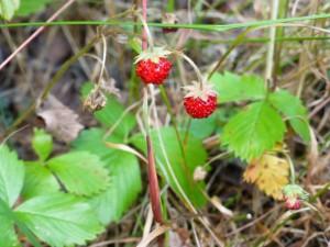 Markjordbær. Foto Arne Nohr